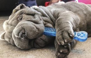 The Shar-Pei, and other breeds with excessive facial folds and wrinkles, sometimes need several surgeries.