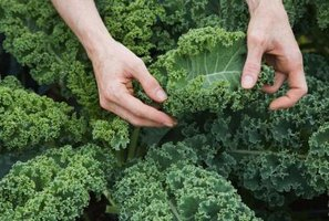 Kale is a hardy vegetable that thrives in winter gardens.