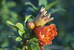 Pomegranate flowers give way to red or yellow-green fruit.