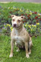 The American pit bull terrier is recognized by the United Kennel Club but not the American Kennel Club.