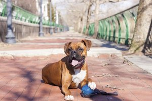Close-up of boxer dog in park.