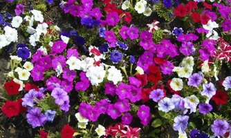 When the garden overflows with petunia blooms, cut some for indoor flower arrangements.