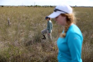 Employees of the Fish and Wildlife Service track non-native snakes in Florida.