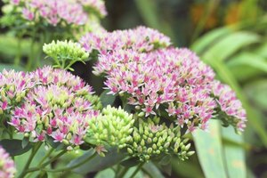 Close-up of flowering sedum