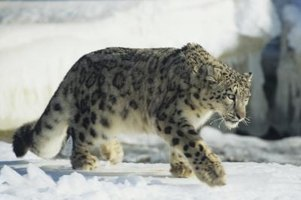 The amur leopard is considered to be the most endangered species on the planet.
