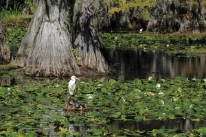 Wildlife flourishes in East Texas' Caddo Lake State Park.