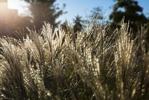 Zebra grass quivers in the slightest breeze, creating a striking display.