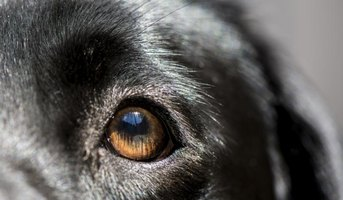The bacterial form of pinkeye can transmit from people to dogs.