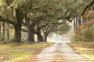 Live oaks have majestic, sprawling canopies.