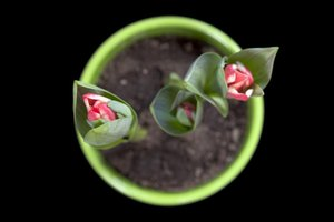 Tulips can be planted more closely in a pot than in an in-ground garden.
