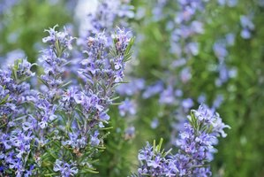 Rosemary's low water requirements fit will with a water-wise landscaping plan.