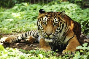 Tigers once lived all over Asia and into Turkey.