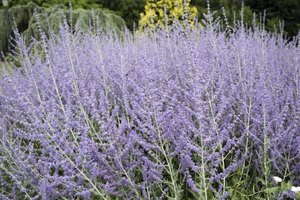 Russian sage is in the same family as peppermint and lavender.