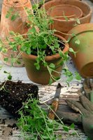 Oregano grows well in a terra cotta pot, which absorbs excess moisture.
