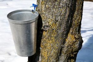 Sap is collected from maple trees in buckets.