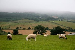 Sheep grazing on countryside grass