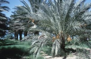 Pygmy date palms have short trunks.