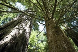 Redwood trees are used for lumber.