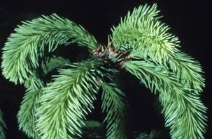 Healthy weeping spruce trees can typically fend off blight pathogens.