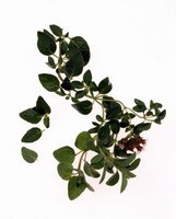 How to Care for an Oregano Plant