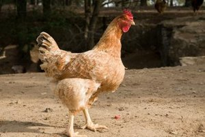 Loose chickens take time and effort to capture.