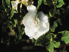 Glossy green gardenia foliage can be damaged by cold.