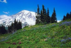 Many types of berries grow wild on the slopes of Washington's Mount Rainier.