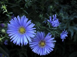 Bright flowers and a tough constitution make the aster a garden stalwart.