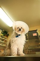 The Elizabethan collar is used in medical situations on dogs, but doesn't hurt them.