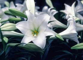 How to Transplant Easter Lilies