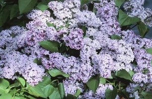 Lilac flowers can be white to pink as well as a variety of lavender hues.