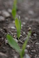 Germination takes a seed from dormancy to seedling.