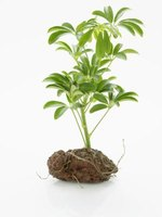 Roots absorb nutrients and anchor the plant to the ground