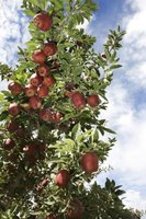 An average apple tree yields 20 boxes of fruit a year.