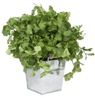 Choose  a variety of cilantro that's slow to bolt for longer harvests.