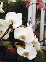 Phalaenopsis orchids are nicknamed moth orchids for their white, moth-like petals.
