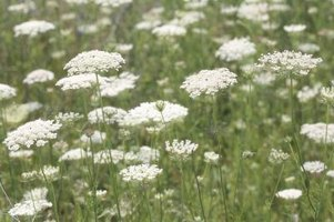 Queen Anne's Lace grows wild along roads and field borders.