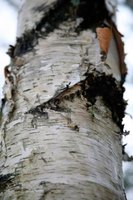 All varieties of birch trees have peeling bark.