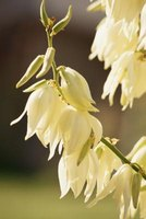 American Indian tribes used all parts of yucca, including the edible flowers.
