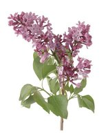 Spring-blooming lilac is an excellent choice for western New York.