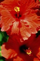 Tropical hibiscus is commonly 5 to 6 feet tall.