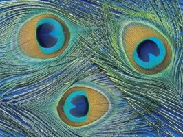 "A dramatic feature of the peacock feather is the ""eye"" at the end of each feather."