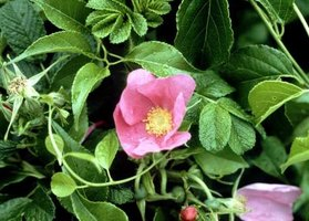 The rugosa rose is cultivated for its flowers and its edible rose hips.