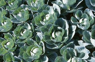 Several pests pose potential threats to brassicas such as cabbage.