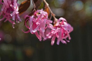 The flowers of a loropetalum bush.