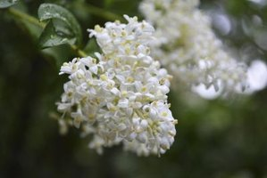 Although they resemble white lilac blooms, privet flowers have a much less pleasant fragrance.