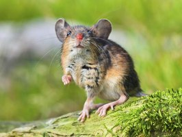 Small field mouse outdoors