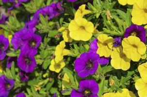 Rooting a cutting is an uncomplicated way to duplicate favorite petunias.