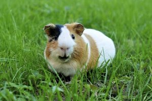 Guinea pigs are social creatures who are happiest when sharing their space with a friend.