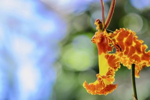 Butterfly orchids are orange and yellow.
